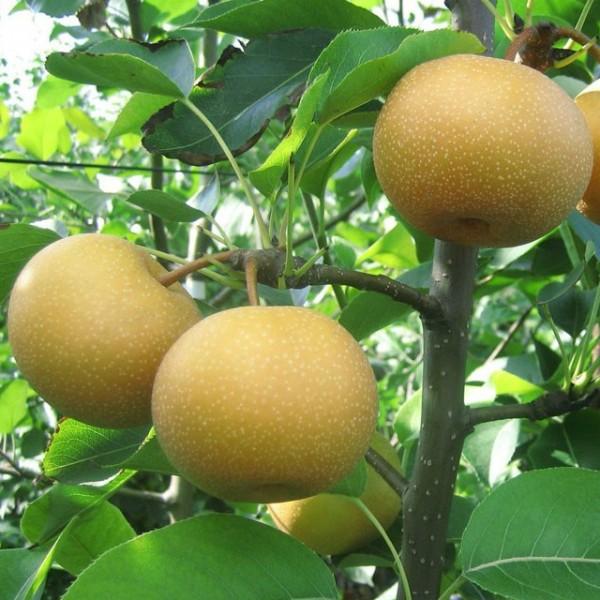 Nashi Tama goldgelb sehr saftig süß Asienbirne Apfelbirne als Buschbaum 150-170 cm im 10 Liter Topf