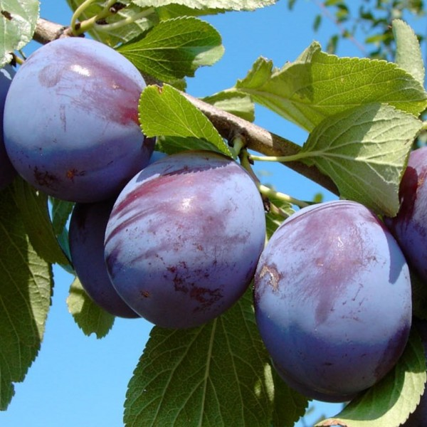 Anna Späth späte Zwetsche mit großen Früchten Zwetschenbaum Halbstamm 170-200 cm 9,5 L Topf Brompton