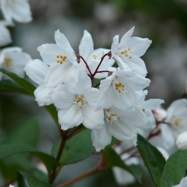 Maiblumenstrauch Yuki Snowflake® Deutzia rosea