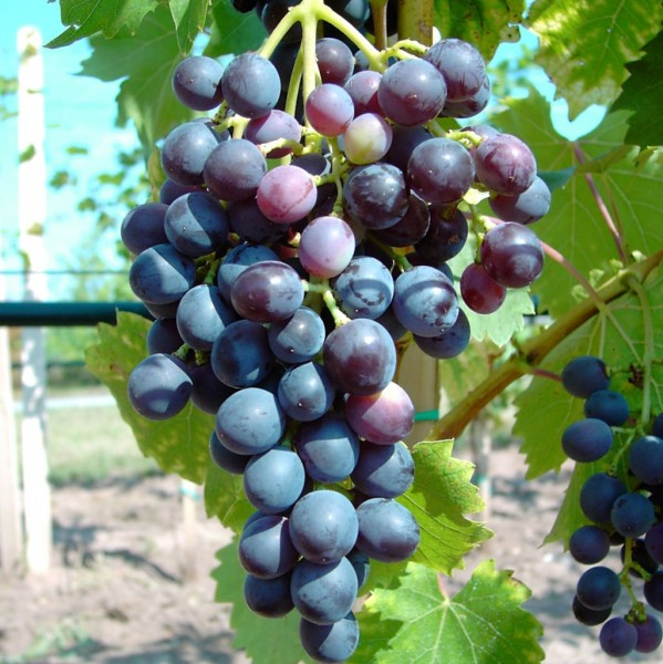 Blauer Muskateller Weintraube im 3,5 Liter Topf
