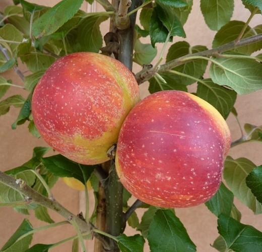 Apfelbaum Rote Alkmene Herbstapfel beliebter Kinderapfel Halbstamm 170-200 cm 10 L Topf Unterlage M7