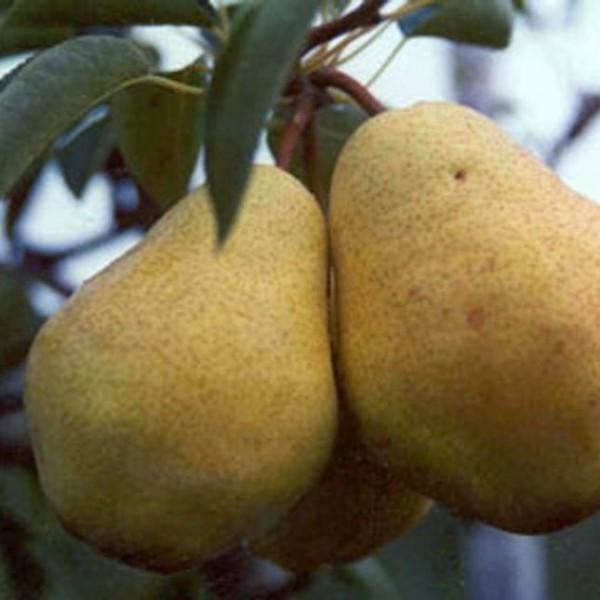 Birnenbaum Williams Christ beliebte Herbstbirne Hochstamm 180 cm Stamm wurzelnackt Unterlage Sämling