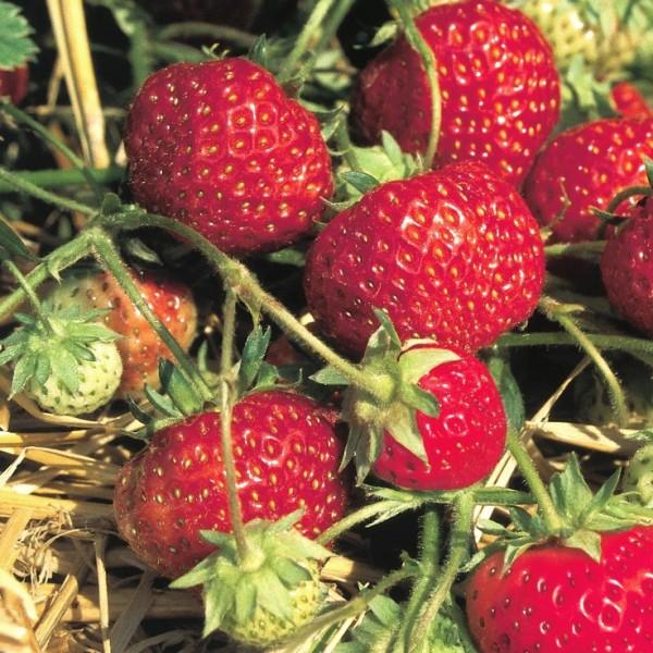 Erdbeere Senga Sengana - beliebte aromatisch mittelspäte Erdbeersorte - 10 Erdbeerpflanzen