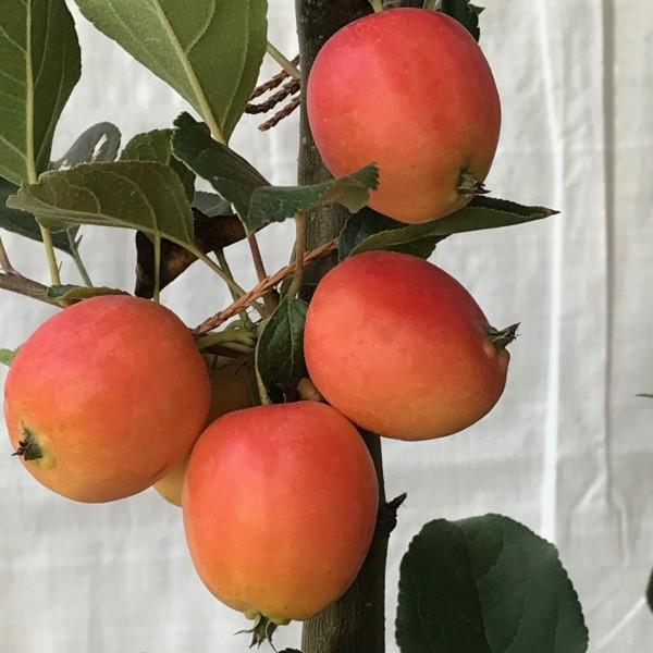 Zwerg Zierapfelbaum Pomzai® kompakt wachsend orange Früchte für Kübelbepflanzung 60-80 cm 5 L Topf