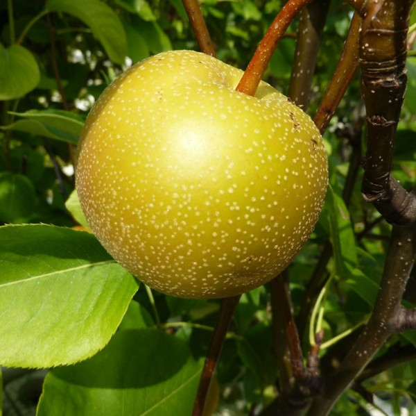 Nashi Chojuro Asienbirne Apfelbirne Buschbaum historische Nashisorte 150-170 cm 10 Liter Topf