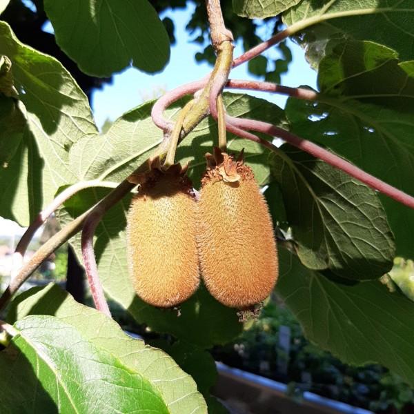 Jenny selbstfruchtbare Kiwi - Actinidia chinensis