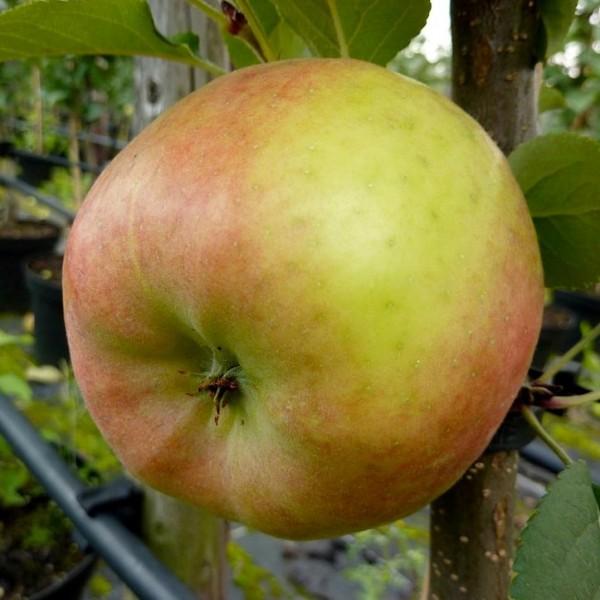 Apfelbaum Topaz Ⓢ schorfresistenter Apfelbaum Buschbaum Winterapfel 150-170 cm 10 Liter Topf M7