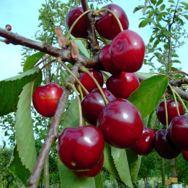 Zwergsauerkirsche Kobold  Buschbaum schwachwachsend ca. 120-150 cm 7,5 Liter Topf wurzelecht