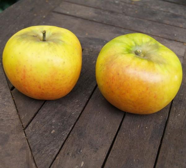 Goldparmäne historische Apfelsorte Herbstapfel Hochstamm 180 cm Stamm wurzelnackt Unterlage Sämling