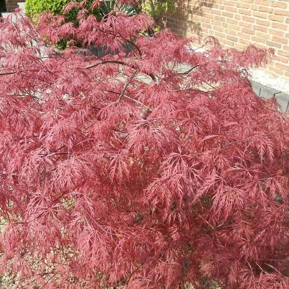 Roter Schlitzahorn - Acer palmatum Dissectum Garnet Ahorn