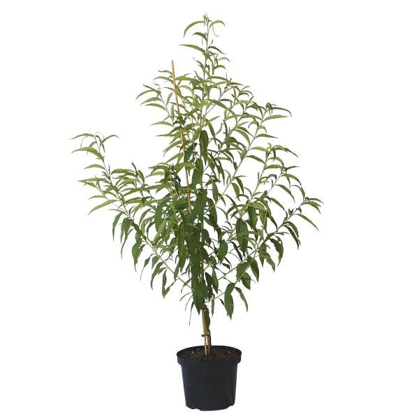 Pfirsichbaum Echter Roter Weinbergpfirsich Pfirsich aromatisch Buschbaum 120-150 cm 10 Liter Topf