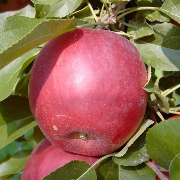 Apfelbaum Liberty schorfresistenter Herbstapfel Buschbaum 150-170 cm 10 Liter Topf Unterlage M7