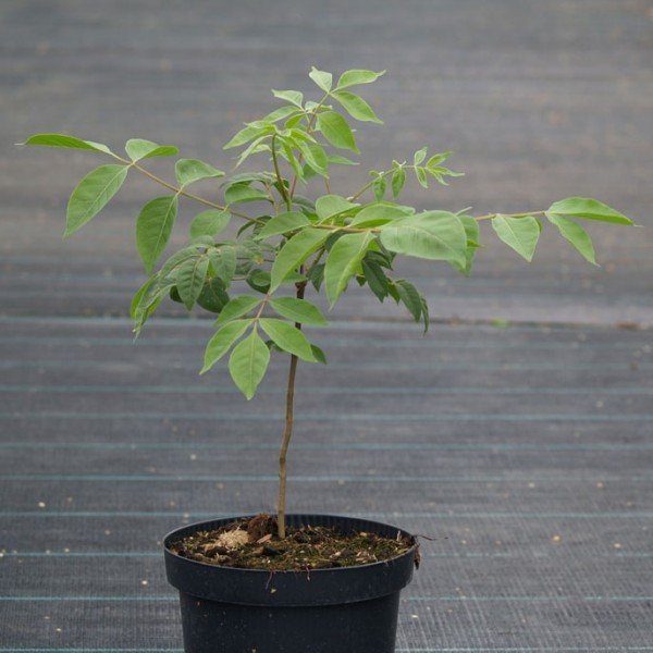 Bienenbaum Euodia hupehensis Nektarspender Tausendblütenstrauch 60-100 cm im 3 Liter Topf