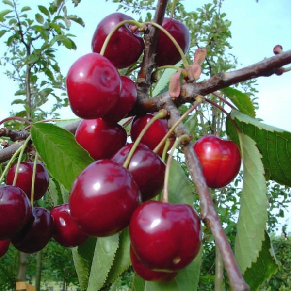 Vowi Ⓢ Sauerkirsche, gut steinlösend Buschbaum, 120-150 cm im 7,5 Liter Topf wurzelecht