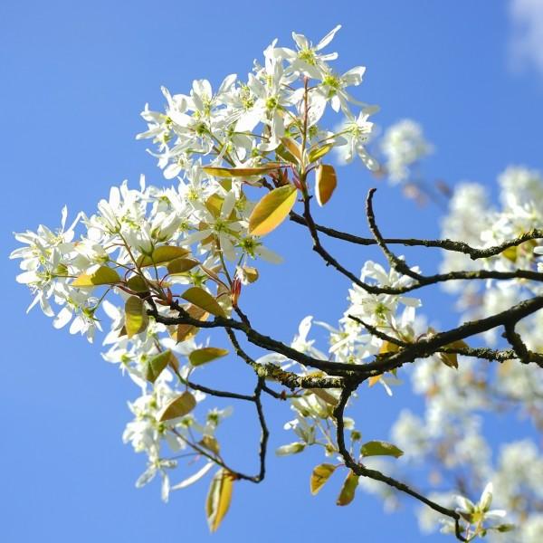 Schnee-Felsenbirne Robin Hill Amelanchier arborea