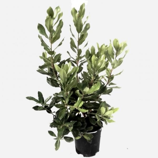 Westlicher Erdbeerbaum Arbutus unedo immergrün mediterrane Pflanze ca 40-60 cm im 3 Liter Topf