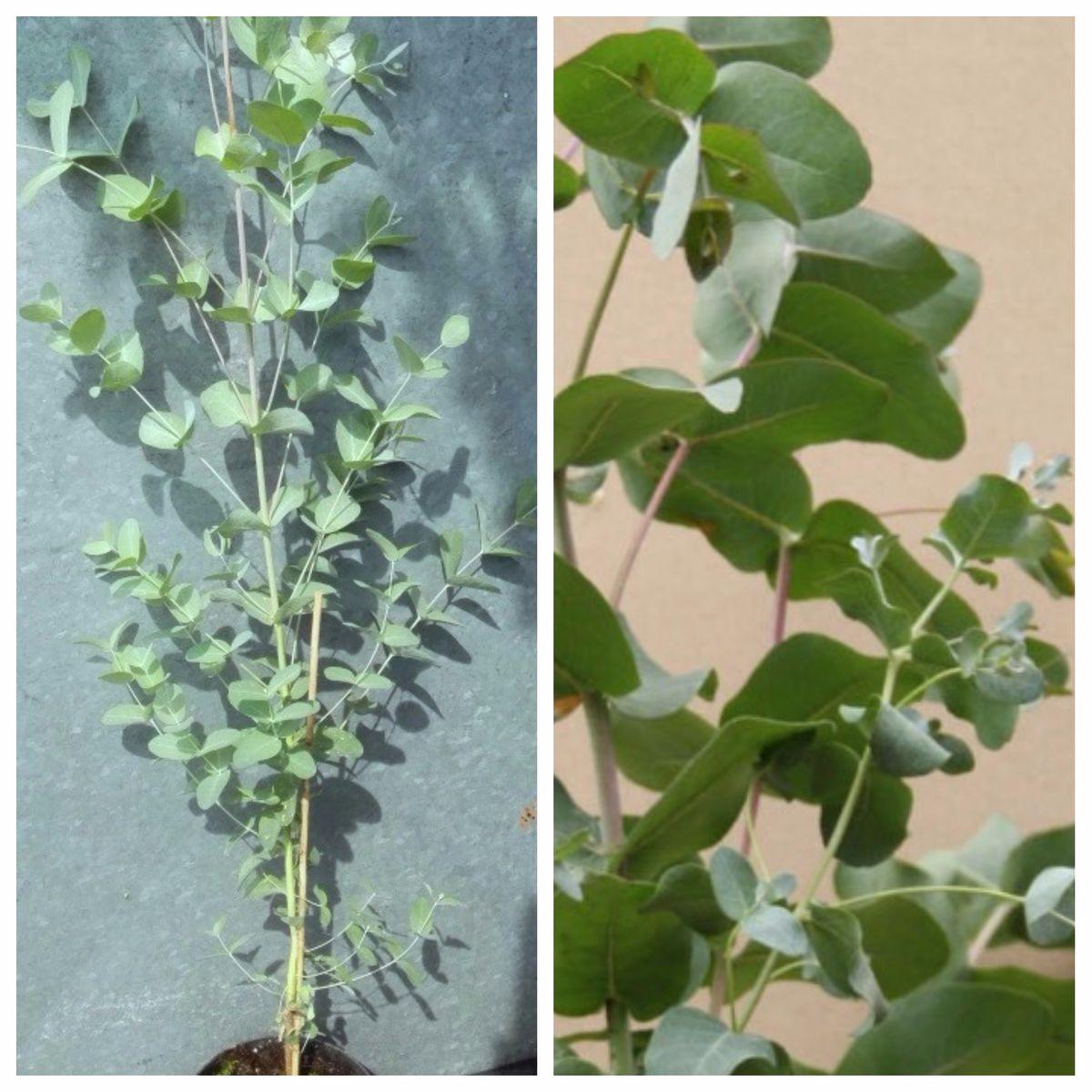 eukalyptusbaum gunnii winterh rteste eukalyptussorte ca 80 100 cm pflanze im 2 liter topf. Black Bedroom Furniture Sets. Home Design Ideas