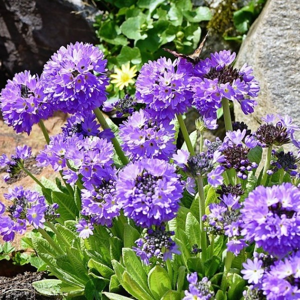 Kugel-Primel Primula denticulata Blaue Auslese Blüte von März-Mai 25-30 cm hoch Staude im 0,5 L Topf