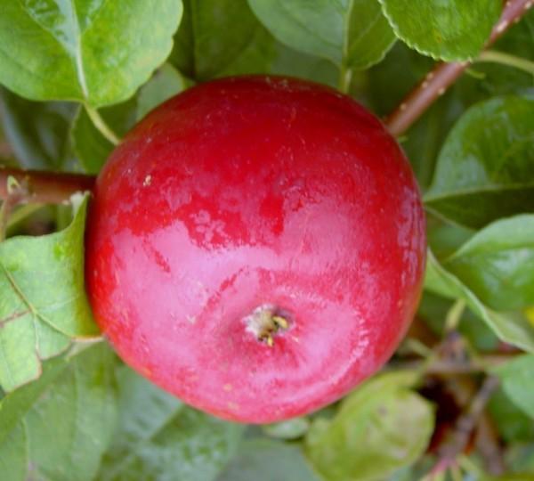 Redlove® Circe® Busch rotfleischig ca. 100-120 cm 10 L Topf kleinbleibend (M9)