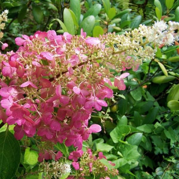 Rispenhortensie Pink Lady Hydrangea paniculata ca 40-60 cm 3 Liter Topf