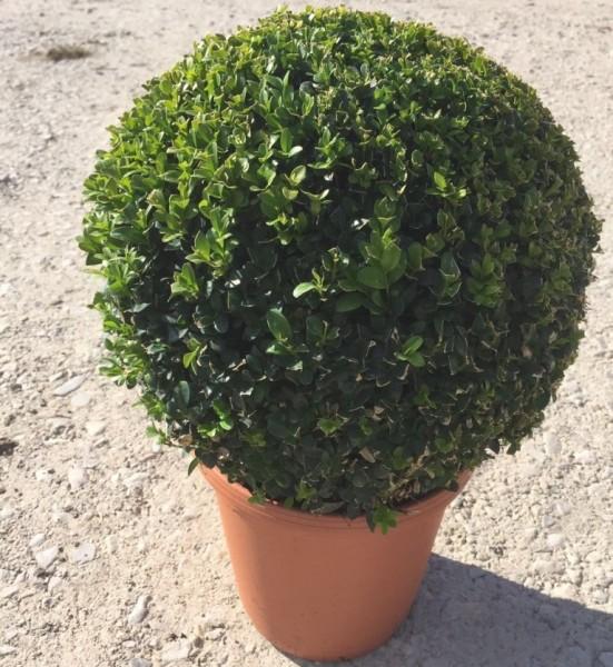 Buchsbaum Kugelform 25-30 cm Durchmesser Buxus sempervirens Kugel 23 cm Topf