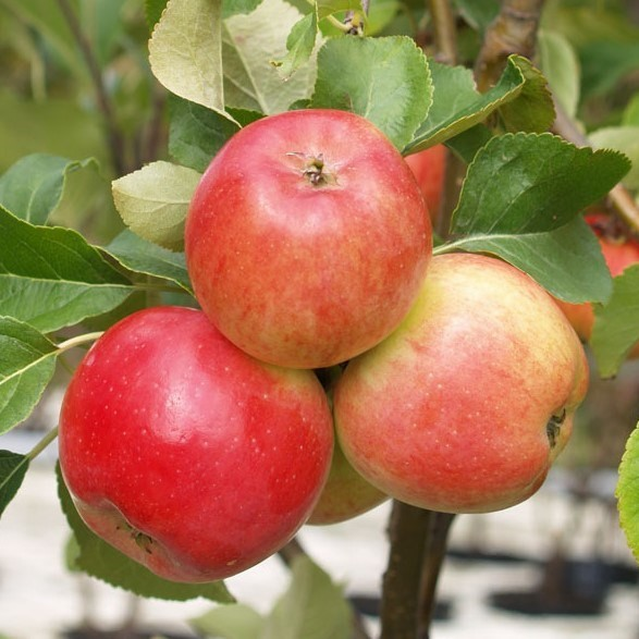 1a-plant JarleⓇSäulenapfel  saftig + süß mit gutem Säureanteil Geschmackssieger 60- 80 cm 5 L Topf