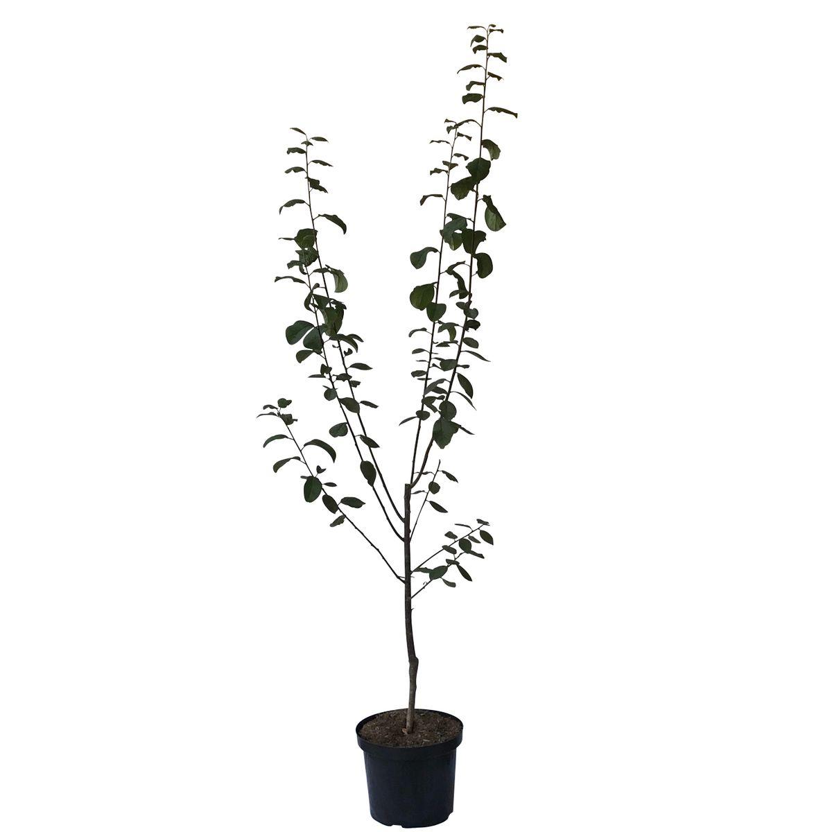 k nigin viktoria goldgelbe pflaume einj hriger buschbaum 100 120 cm 7 5 liter topf st julien a. Black Bedroom Furniture Sets. Home Design Ideas