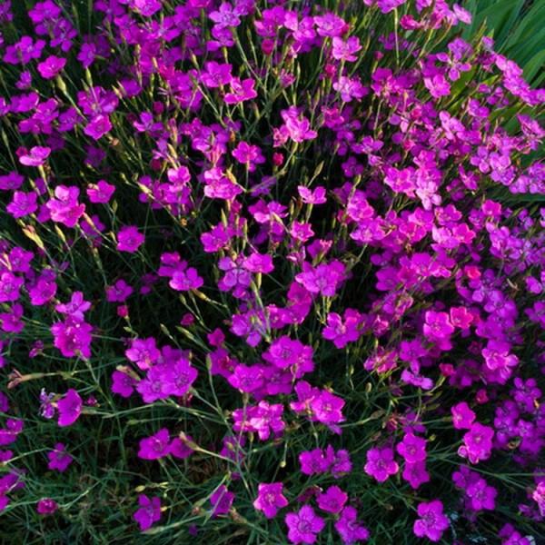 Staude Heidenelke, Nelke, Dianthus deltoides, rot purpurfarben 5 Stauden im Set, im 7 cm Topf
