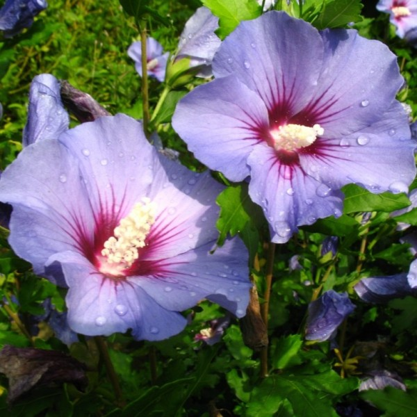 Roseneibisch Marina Hibiscus syriacus blau violette offene Blüte ca. 30-60 cm im 3 Liter Topf