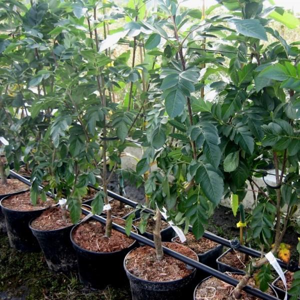Sorbus Burka Frucht Eberesche leicht süße Frucht der Vogelbeere reichtragend 100-120 cm 5 Liter Topf