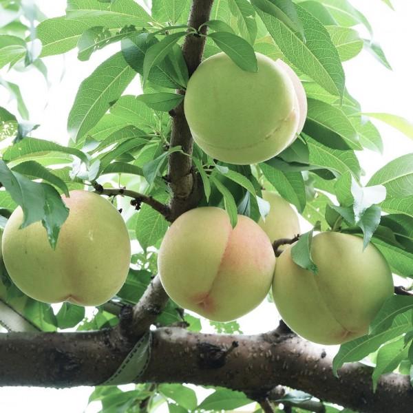 Zwergpfirsich Ice Peach®