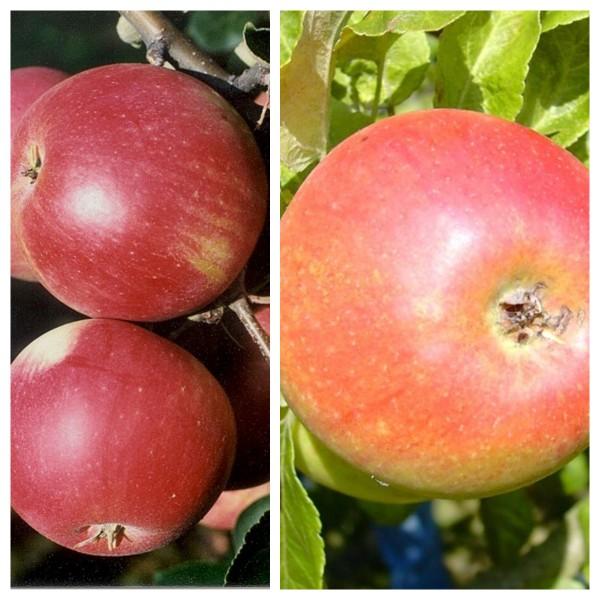 Duo Apfelbaum mit den Kombinationen James Grieve - Alkmene - Cox Orange - Melrose 7,5 L. Topf M7