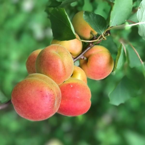 Aprikosenbaum Harcot sehr früh reifende Aprikose Buschbaum, ca. 120-150 cm im 7,5-10 Liter Topf