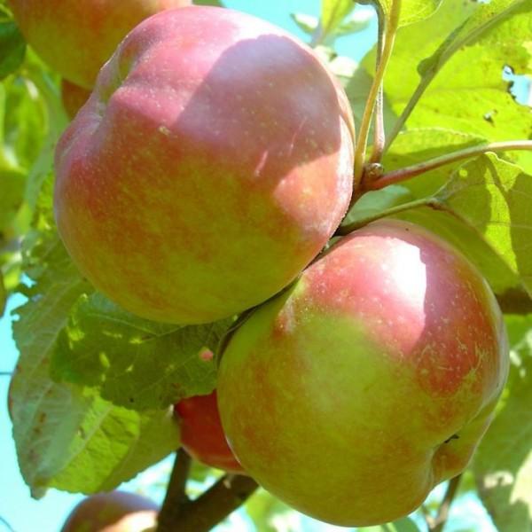 Danziger Kant historischer Winterapfel Hochstamm ca. 180 cm Stamm wurzelnackter Apfelbaum