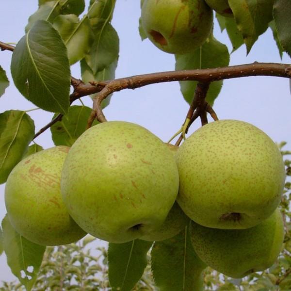 Nashi Mischiratz Nashibaum sehr robuste Asienbirne Apfelbirne Buschbaum 150-170 cm 10 Liter Topf