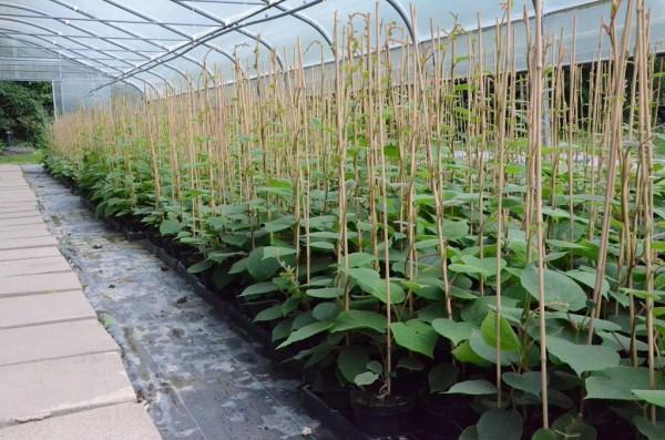 Atlas, männliche Kiwipflanze ca. 60-100 cm im 3 Liter Topf Bestäubersorte