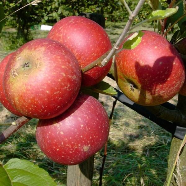 Apfelbaum Ingrid Marie roter Herbstapfel Weihnachtsapfel Halbstamm 170-200 cm 10 L Topf Unterlage M7