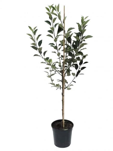 Apfelbaum Rubinette Rosso Herbstapfel sehr guter Tafelapfel Busch ca. 120-150 cm 9,5 L Topf MM 111