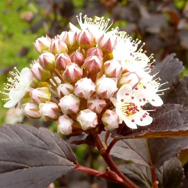 Fasanenspiere Summer Wine ® - Physocarpus opulifolius