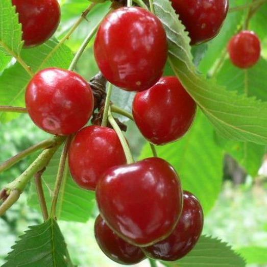 Morina Ⓢ Sauerkirsche, saftige, robuste Sorte, Buschbaum 120-150 cm 10 Liter Topf, wurzelecht