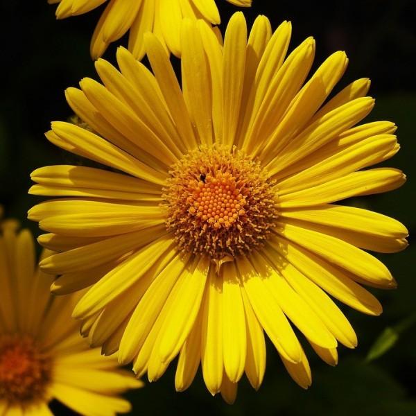 Gemswurz, Doronicum orientale Little Leo, gelbe margeritenähnliche Blüte, Staude im 0,5 Liter Topf