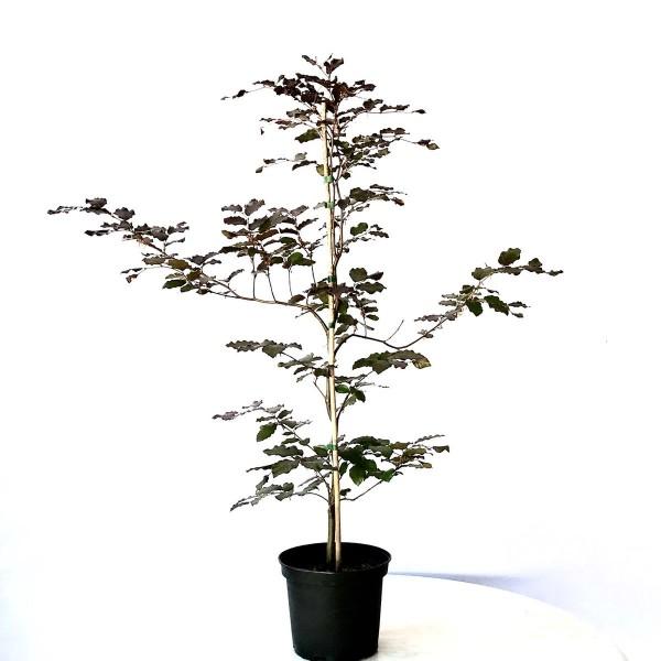 Rotbuche, Buche, Fagus sylvatica, heimischer Waldbaum als Heister mit ca. 125-150 cm im 5 Liter Topf