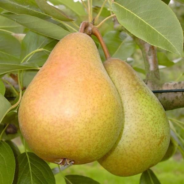 Birnenbaum Gellerts Butterbirne saftig süß Herbstbirne Hochstamm 180 cm Stamm wurzelnackt auf Slg.