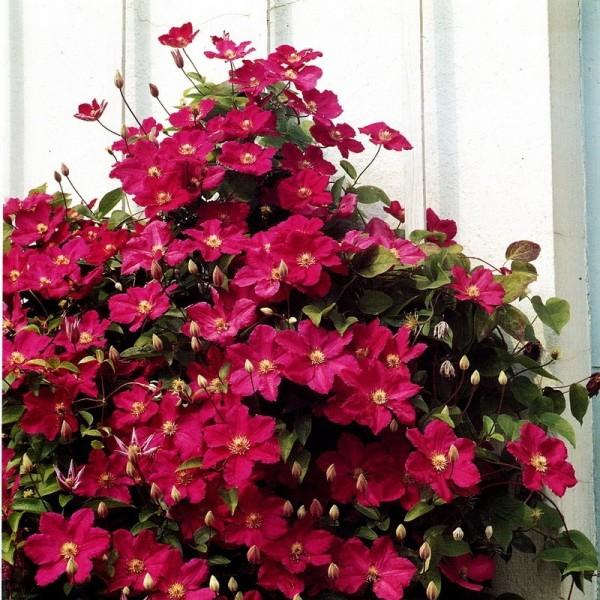 Clematis Ville de Lyon ®, Clematis Hybride, rote Blüten im 2 Liter Topf, gestäbt
