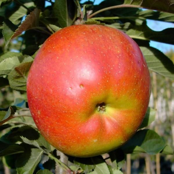 Rondo, Säulenapfel mit großen Früchten, süß aromatisch, ca. 80-120 cm, Veredelungsunterlage MM 111
