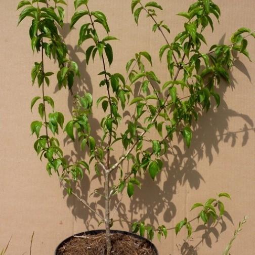 Kornelkirsche Cornus mas Kasanlak großfrüchtig veredelt hoher Vitamin C Gehalt 60-100 cm 7,5 L Topf