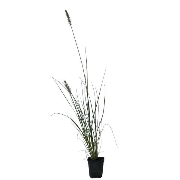 Lampenputzergras Hameln, Federborstengras, Pennisetum alop. Staude im 9 cm Topf