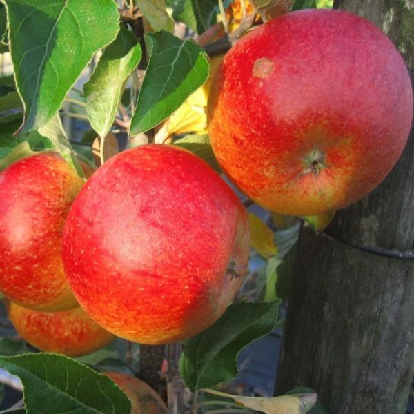 Apfelbaum Cox Orange Renette aromatischer Winterapfel Buschbaum 120-150 cm 7,5 L Topf Unterlage M9