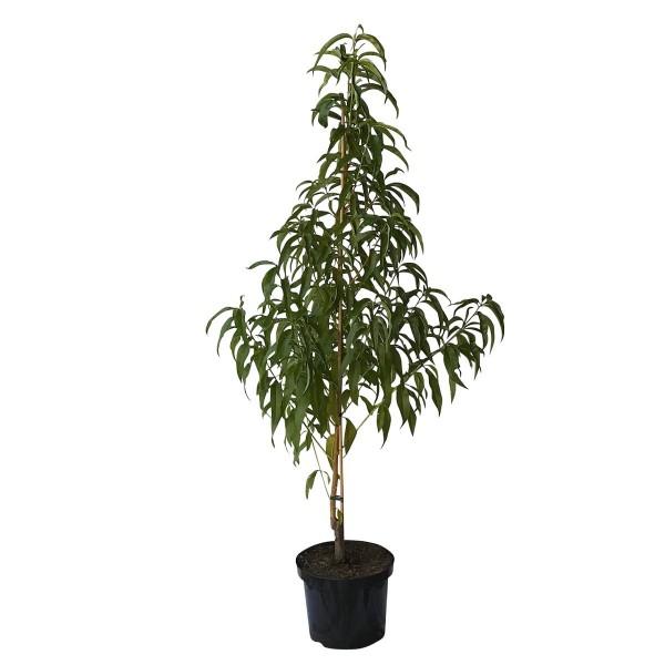 Harco Nektarinenbaum saftig süße gelbfleischige Nektarine 120-150 cm Buschbaum 7,5 - 10 Liter Topf