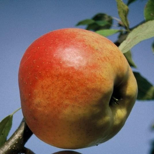 Rheinischer Winterrambur Historischer Apfel Hochstamm ca. 180 cm Stamm wurzelnackt Unterlage Sämling